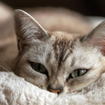 Communication animale chat tigré