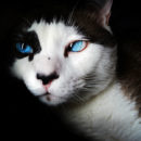 Communication animale chat yeux bleus