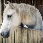 Communication animale cheval blanc
