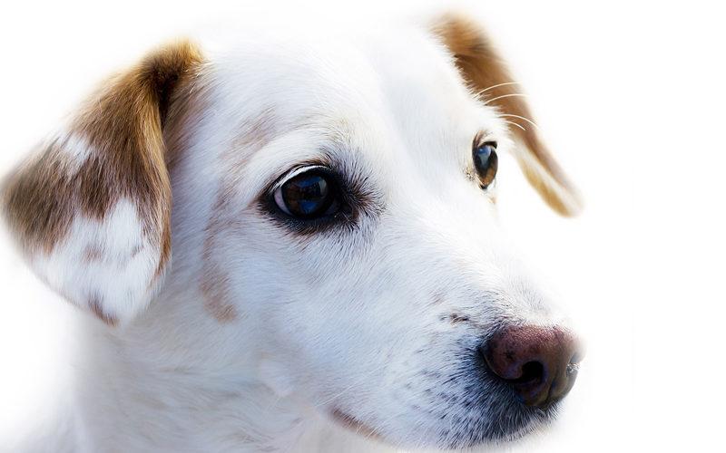 Communication animale petit chien