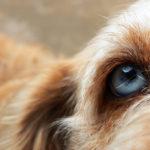 communication animale oeil chien cremel