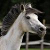cheval arabe comanimale