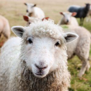 mouton comanimale