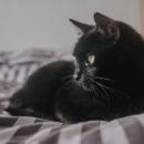 chat noir com animale