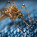 moustique com animale