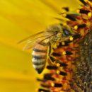 tournesol abeille com animale