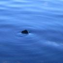 coma animale eau